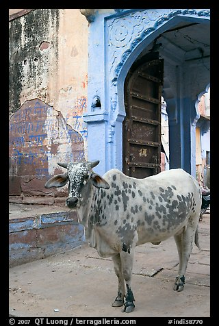 Cow and blue-washed archway. Jodhpur, Rajasthan, India