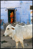 Cow and house with blue-washed walls. Jodhpur, Rajasthan, India
