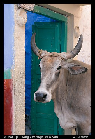 Cow and doorway. Jodhpur, Rajasthan, India (color)