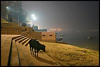 Sacred cow on the banks of Ganges River at night. Varanasi, Uttar Pradesh, India ( color)