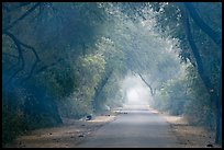Misty path at down, Keoladeo Ghana National Park. Bharatpur, Rajasthan, India ( color)