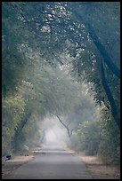 Main path in the dawn mist, Keoladeo Ghana National Park. Bharatpur, Rajasthan, India ( color)