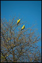 Yellow pigeons, Keoladeo Ghana National Park. Bharatpur, Rajasthan, India