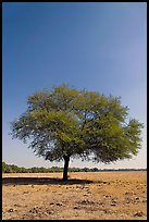 Isolated tree, Keoladeo Ghana National Park. Bharatpur, Rajasthan, India ( color)