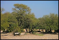 Animals and trees, Keoladeo Ghana National Park. Bharatpur, Rajasthan, India ( color)