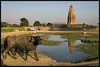 Javari Temple in rural setting with pond and caw, Eastern Group. Khajuraho, Madhya Pradesh, India