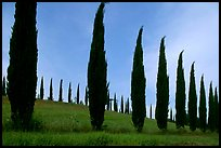 Cypress rows typical of the Tuscan landscape. Tuscany, Italy ( color)