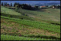 Vineyard, cypress, and houses,  Chianti region. Tuscany, Italy ( color)