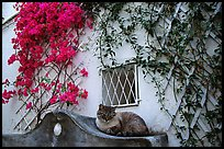 Cat and white walls with red flowers, Positano. Amalfi Coast, Campania, Italy (color)