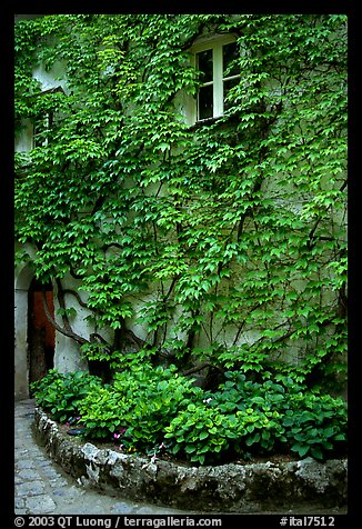 Ivy-covered wall in a Courtyard inside Villa Rufulo, Ravello. Amalfi Coast, Campania, Italy