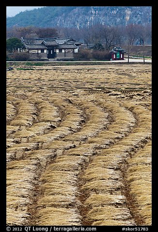 Fields with cut crops and historic house. Hahoe Folk Village, South Korea