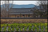 Cabbage field and residence. Hahoe Folk Village, South Korea (color)