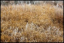 Frosted grasses, Hallasan National Park. Jeju Island, South Korea ( color)