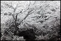 Trees with hoar frost, Mt Halla. Jeju Island, South Korea (color)