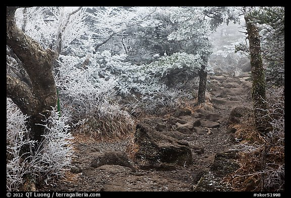 Frosted trees, Yeongsil trail, Mt Halla. Jeju Island, South Korea