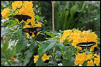 Black butterflies and flowers, Sentosa Island. Singapore