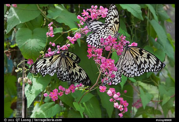 Butterflies and flowers, Sentosa Island. Singapore (color)