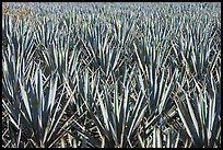 Blue agaves near Tequila. Mexico ( color)
