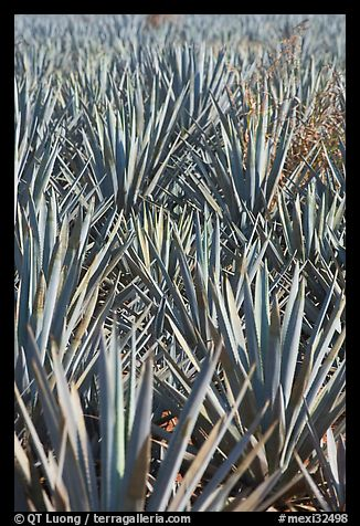 Dense rows of blue agaves. Mexico