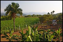 Rural scene with banana trees, palm tree, horses, and  field. Mexico (color)