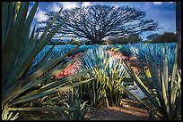 Blue agaves and pictures of agave landscape. Cozumel Island, Mexico ( color)