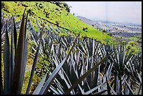 Agaves and pictures of landscape. Cozumel Island, Mexico ( color)