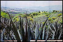Agaves and pictures of landscape, tequilla factory. Cozumel Island, Mexico ( color)