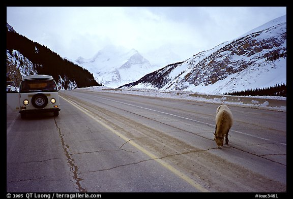 WV bus and mountain goat on the Banff-Jasper highway. Canada