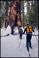 Skiers approaching the California Tunnel Tree, Mariposa Grove. Yosemite National Park, California