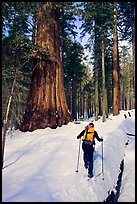 Backcountry skier at the base of Giant Sequoia trees, Mariposa Grove. Yosemite National Park, California