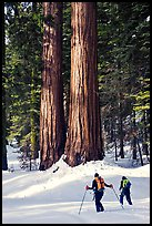 Cross-country skiers at the base of Giant Sequoia trees, Mariposa Grove. Yosemite National Park, California