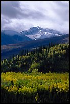 Aspens in yellow  fall colors and Panorama Range, Riley Creek drainage. Denali National Park, Alaska, USA.