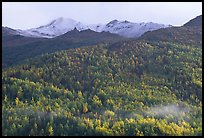 Hillside with aspens in fall colors. Denali National Park, Alaska, USA.