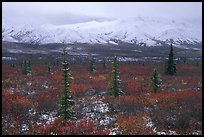 Spruce trees, tundra, and peaks with fresh snow. Denali National Park, Alaska, USA. (color)