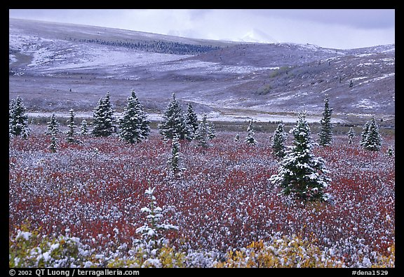 Dusting of snow on the tundra and spruce trees near Savage River. Denali National Park, Alaska, USA.