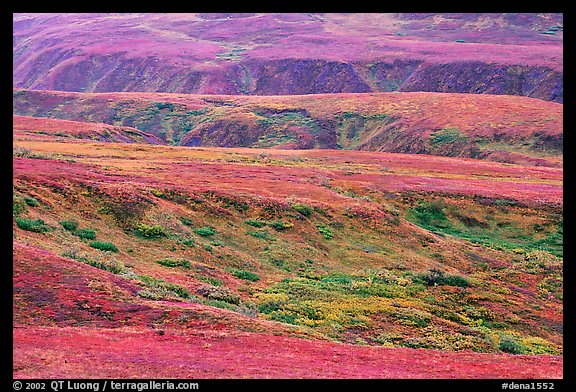 Tundra in fall colors and river cuts near Eielson. Denali National Park, Alaska, USA.