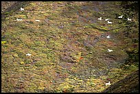 Distant view of Dall sheep on hillside. Denali National Park, Alaska, USA.