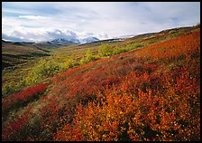 Red bushes on hillside, and cloud-capped mountains. Denali National Park, Alaska, USA. (color)