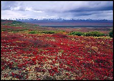 Red tundra flat and Alaska Range in the distance. Denali National Park, Alaska, USA. (color)