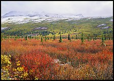 Berry plants in autumn color with early snow on mountains. Denali National Park, Alaska, USA. (color)