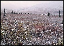 Berry leaves, trees, and mountains in fog with dusting of fresh snow. Denali National Park, Alaska, USA. (color)