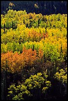 Aspens in yellow fall foliage amongst conifers, Riley Creek drainage. Denali National Park, Alaska, USA.
