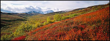 Northern mountain landscape in autumn. Denali  National Park (Panoramic color)