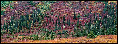 Autumn boreal forest and tundra on slope. Denali  National Park (Panoramic color)
