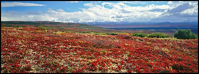 Carpet of berry plants in autumn with distant Alaska Range. Denali  National Park (Panoramic color)