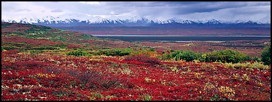 Tundra landscape with red berry plants and Alaskan mountains. Denali National Park (Panoramic color)