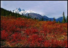 Red tundra shrubs and Arrigetch Peaks in the distance. Gates of the Arctic National Park, Alaska, USA. (color)