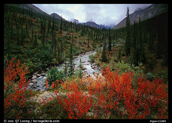 Bright berry leaves, boreal forest, Arrigetch Creek. Gates of the Arctic National Park, Alaska, USA.
