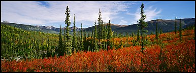 Mountain landscape with berry plants in fall colors, forest, and snow-dusted peaks. Gates of the Arctic National Park (Panoramic color)