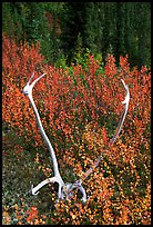 Caribou antlers. Gates of the Arctic National Park ( color)